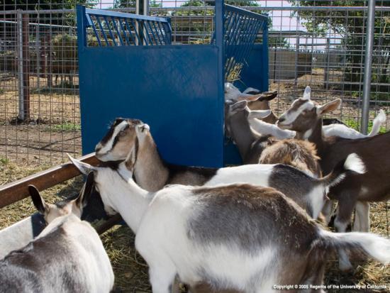 Goats_0036