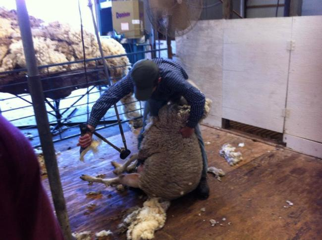 Shearing 2012 E