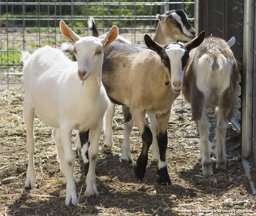 4-H Dairy Goats